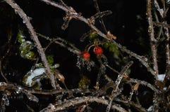 Härliga röda bär som frysas i vatten i vinter royaltyfria bilder