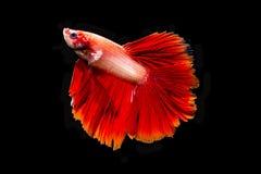 Härliga röda Betta Fish som isoleras på svart bakgrund Royaltyfri Fotografi
