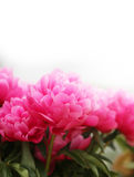 Härliga röda blommapioner fotografering för bildbyråer