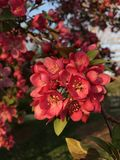 Härliga röda blommor i vår Royaltyfria Foton