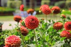 Härliga röda blommor mot gräsplan spricker ut Backgrond Royaltyfri Foto