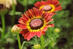 Härliga röda blommor mot gräsplan spricker ut Backgrond fotografering för bildbyråer