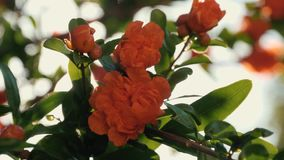 Härliga röda blommor på ett träd i strålarna av solen Kontur av härliga blommor lager videofilmer