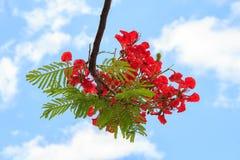 Härliga röda blommor som blommar på blå himmel Arkivfoto