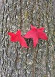 Härliga röda höstblad av ett bärnstensfärgat träd arkivbild