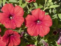 Härliga röda höstblommor royaltyfria bilder