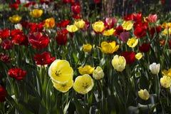 Härliga röda och gula tulpan blommar i trädgården brigham royaltyfri bild