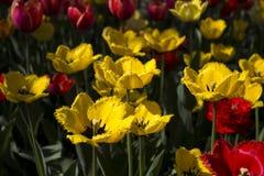 Härliga röda och gula tulpan blommar i trädgården brigham royaltyfri fotografi