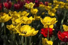 Härliga röda och gula tulpan blommar i trädgården brigham royaltyfria bilder