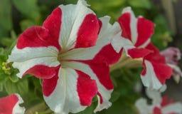Härliga röda och vita petuniablommor arkivbild