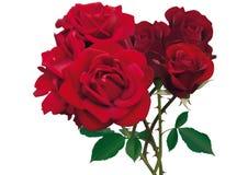 härliga röda ro Royaltyfri Foto