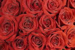 Härliga röda ro med liten dagg tappar Arkivfoton