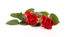 härliga röda ro två Royaltyfria Bilder