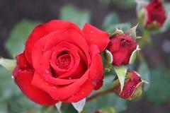 Härliga röda rosor i rosträdgård Arkivbilder