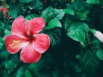 Härliga röda rosor i trädgården Royaltyfri Bild