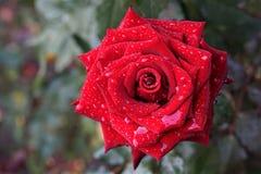 Härliga röda rosor i trädgården med regndroppar av vatten på det gröna bladet royaltyfri bild