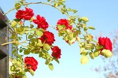 Härliga röda rosor på blå himmel Fotografering för Bildbyråer