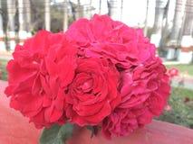 Härliga röda rosor samlar ihop blommor royaltyfria foton