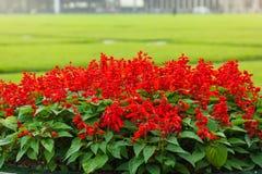 Härliga röda Salvia splendens som planterar i blomkrukan royaltyfria bilder
