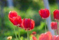 Härliga röda tulpan, Darwin Hybrid Red Tulips i en blomsterrabatt arkivfoto