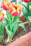 Härliga röda tulpan i blommakruka Arkivbilder