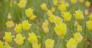 Härliga röda tulpan som blommar på fält lager videofilmer
