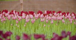 Härliga röda tulpan som blommar på fält arkivfilmer