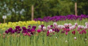 Härliga röda tulpan som blommar på fält stock video