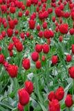 Härliga röda tulpanblommor i vårträdgård royaltyfri fotografi