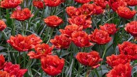 Härliga röda tulpanblommor i vårträdgård arkivbild