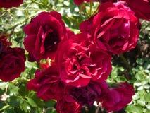 Härliga rödbruna rosor Ursnygg rosa buske arkivbild