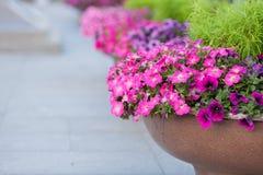 Härliga rabatter med petuniarosa färgblommorna royaltyfria foton