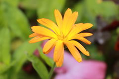 Härliga regndroppar på en orange blomma Royaltyfri Foto