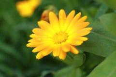 Härliga regndroppar på en orange blomma Arkivfoton