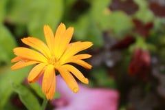 Härliga regndroppar på en orange blomma Royaltyfri Bild