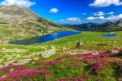 Härliga rhododendronblommor och Bucura bergsjöar, Retezat berg, Rumänien Arkivbild