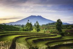 Härliga ris terrasserar i Ngawi Indonesien royaltyfria bilder