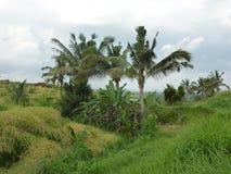 Härliga risfält av Jatiluwih Royaltyfri Foto