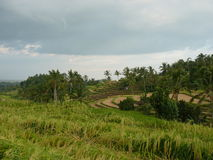 Härliga risfält av Jatiluwih Royaltyfri Bild