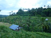 Härliga risfält av Jatiluwih Royaltyfri Fotografi