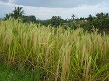 Härliga risfält av Jatiluwih, Bali, Indonesien Royaltyfria Foton