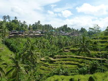Härliga risfält av Tegalalang, Bali, Indonesien Arkivbild