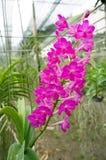 Härliga rosa Ascocenda orkidér Arkivfoton