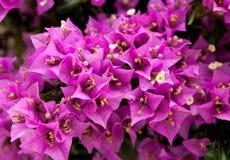 Härliga rosa blommor av bougainvilleaväxten Fotografering för Bildbyråer