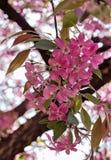 Härliga rosa blommor av fruktbara äpplen Arkivbild