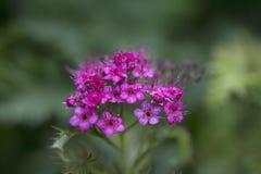 Härliga rosa blommor av spiraeajaponicaen i Royaltyfri Foto