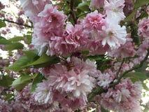 Härliga rosa blommor, på våren Royaltyfri Fotografi