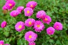 Härliga rosa blommor, tusenskönor Arkivbilder