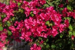 Härliga rosa bougainvilleablommor Arkivfoton