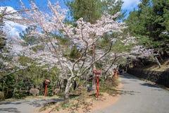 Härliga rosa Cherry Blossom på område för Chureito rött pagodtempel Vårsäsong på Fujiyoshida gränsmärke och populärt för turist royaltyfri fotografi